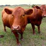 Arkansas Cattle Feed and Supplies